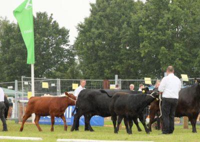 253 Anmarsch Angus Kühe