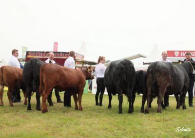 262 Angus Kühe Klasse I