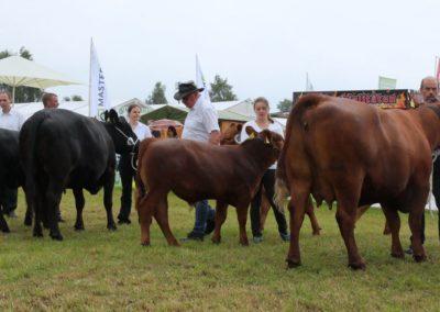 275 Angus Kühe Klasse II
