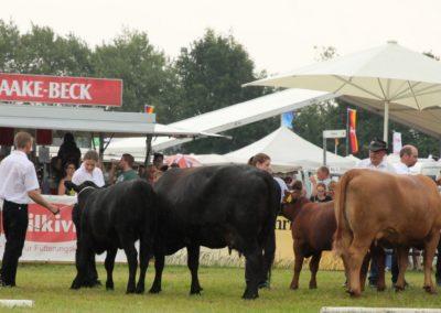 279 Angus Kühe Klasse II