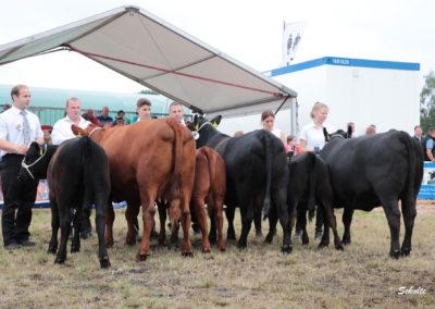 352 Angus Kühe Klasse 2
