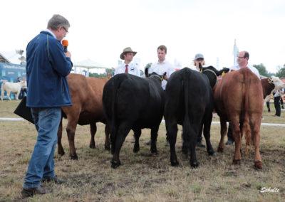 375 Angus Rinder Klasse 1